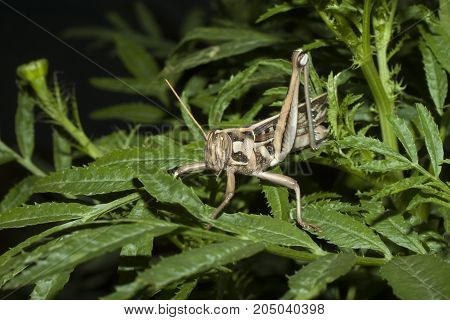 Insect the nature of Adults grasshopper hiding hut with a green tree on night time.