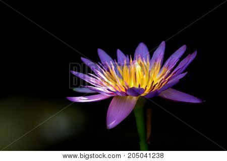 The blue lotus in the garden on a dark background.