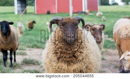 Shetland ram looking at camera among other sheep.
