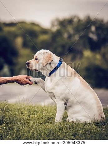Beautiful dog labrador outdoors. Golden retriever labrador is sitting on green grass. Giving hand to cynologist
