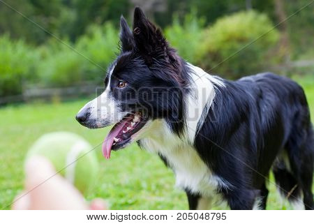 Portrait of border collie playing with his owner