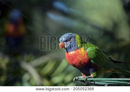 this is a close up of a rainbow lorikeet