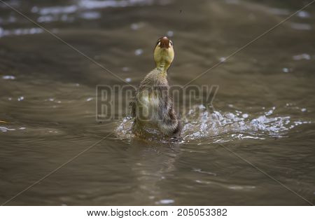 Mallard, Duckling Jumping Out Of The Water To Get A Fly