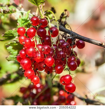 Mature red currant on a bush branch