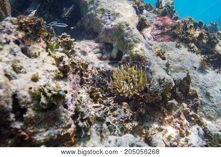 small yellow anemones in dying atlantic reef