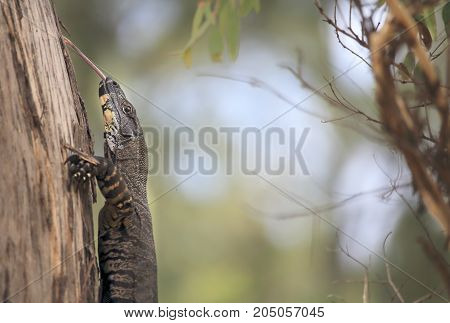 Goanna climbing a tree and poking out his long tongue. 25 of the 30 species of goanna are found in Australia they feature in aboriginal art and folklore. The various species can range from 20cm to over 2.5 metres long.