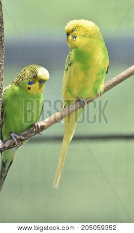Pair of common parakeets sitting with their eyes closed.