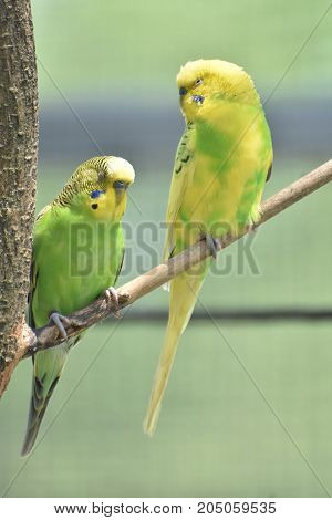 Pair of parakeets with their eyes closed in a tree.
