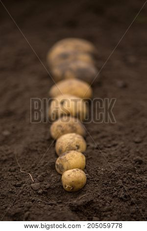 Textures Plenty Of Fresh Unpeeled Potatoes Harvested From The Field. Gradient On Soil. From Big To S