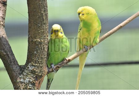 Pair of birght colored parakeets sitting in a tree.