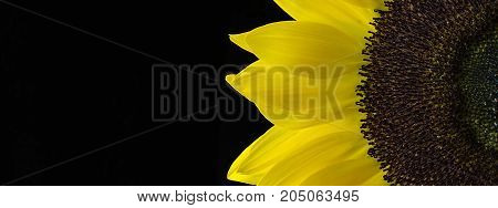 Yellow Sunflower Close Up Isolated on Black Background
