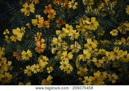 wet Tagetes marigold orange blossom on dark bacground