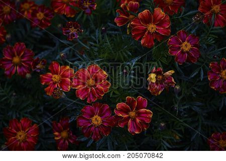 wet Tagetes marigold bright red pink blossom on dark background