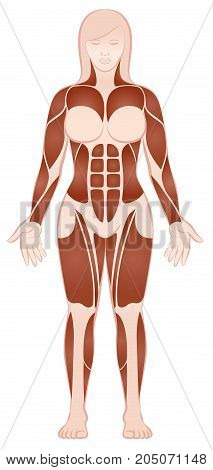 Muscle groups of a muscular female body with pecs, abs, deltoids, biceps, six pack, quads - front view - isolated vector illustration on white background.