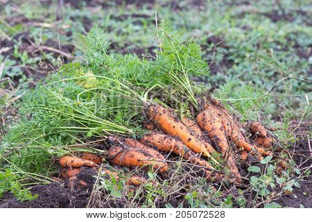 The carrot harvest field falls in the fall