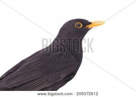 Portrait Blackbird