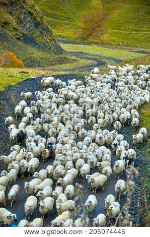big herd of sheep going along the mountain road the herd which is coming back from a pasture