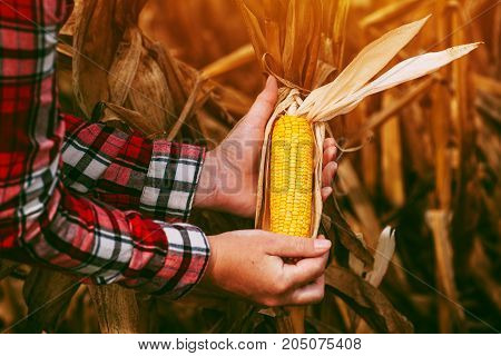 Farmer with harvest ready ripe corn maize cob in field adult female agronomist working on cultivated agricultural plantation