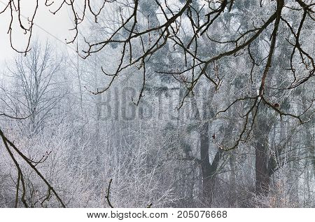 Forest misty landscape with white frosted trees