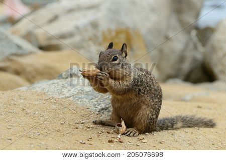Cute Little Squirrel Gnaws A Nut On The Sand