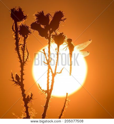 dragonfly on the golden sunset in nature .
