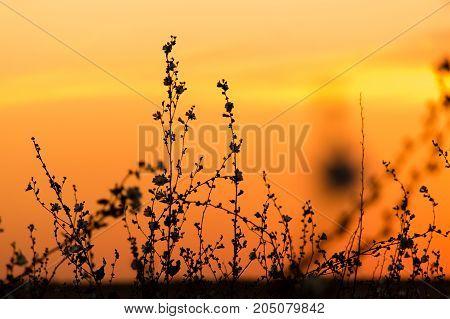 Silhouette of grass on a golden sunset .