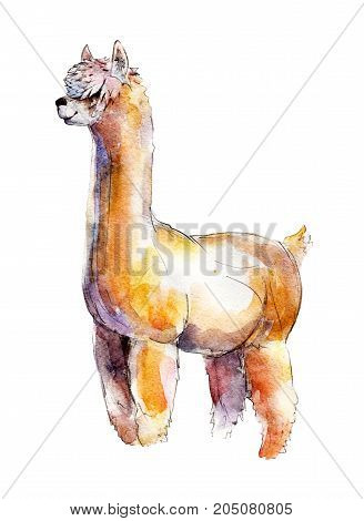 The alpaca watercolor illustration isolated on white background.