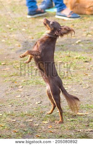 small dog dances standing on its hind legs. Continental toy spaniel Papillon Dog. Space under the text. 2018 year of the dog in the eastern calendar Concept: parodist dogs, dog friend of man, true friends, rescuers.