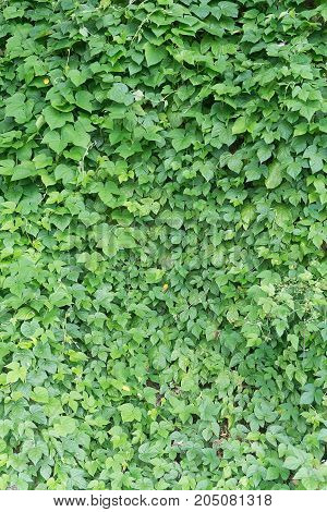 Background of green creeping ivy in sunny day