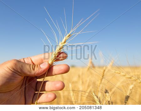 Yellow ears of wheat in hand in nature .
