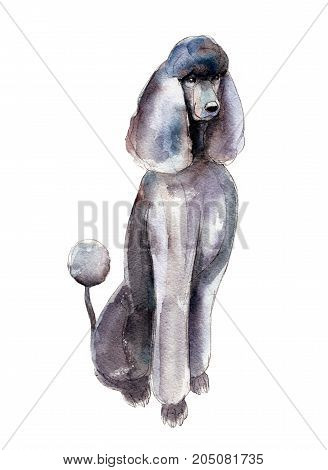 The poodle isolated on white background watercolor illustration.