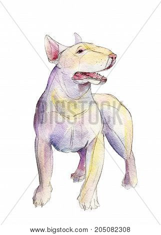 White bull terrier isolated on white background watercolor illustration.