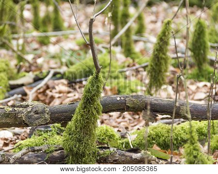 low angle shot showing forest ground with mossy stipes