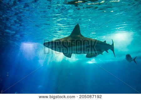 Underwater blue background with sunbeams. A big shark in large sea water aquarium. Lisbon Oceanarium, Portugal. Tourism, holidays and leisure concept.