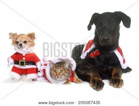 young beauceron chihuahua cat and christmas in front of white background