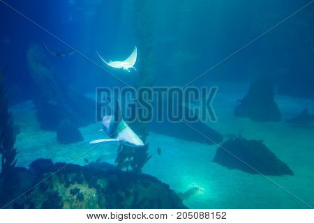 Underwater blue background. Eagle Ray and shark cruises over the deep seafloor. Tourism, holidays and leisure concept. Lisbon Oceanarium, Portugal.