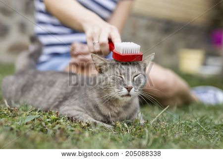 Tabby cat lying in her owner's lap and enjoying while being brushed and combed