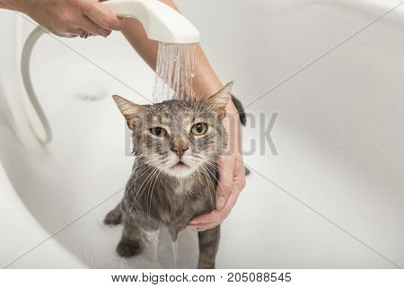 Girl washes her pet cat in a bathtub beautiful tabby cat taking a shower