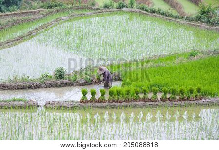 An unidentified man working in rice fields in Yuanyang county, Yunnan, China. Yuanyang county lies at an altitude ranging from 140 along the Red River up to nearly 3000 metres above sea level in the Ailao mountains.