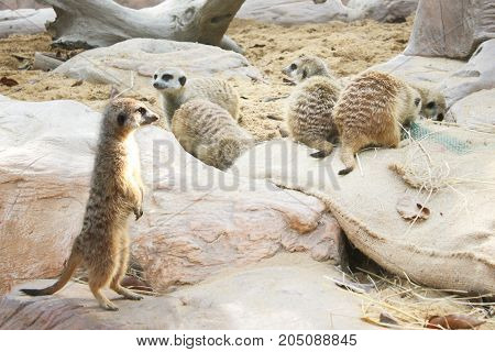 Meerkat Stand guard (Suricata suricatta) with warm sunlight.
