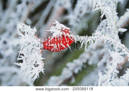 Winter frozen rose hips with ice crystals. Blue green and red frozen plants and berries