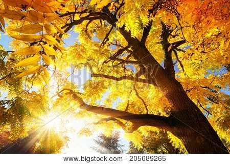 The bright autumn sun illuminating a treetop with vibrant yellow leaves
