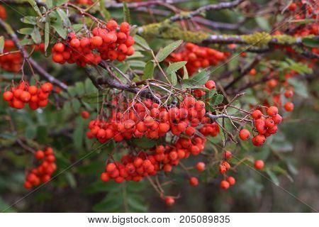 Rowanberries / Rowanberries on a Rowanberry Tree