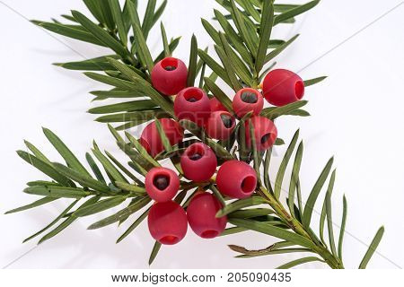 Yew twig with fruits isolated on white background, Taxus baccata