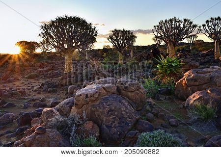 Quiver Tree Forest outside of Keetmanshoop Namibia against bright sun. Magical trees against mystical sunset