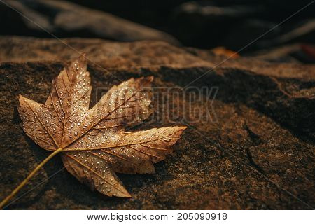 Maple leaf is covered with drops of dew on a stone. Autumn background. Dry autumn leaves