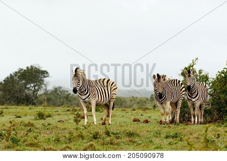 Zebras Standing Together Close To The Bushes