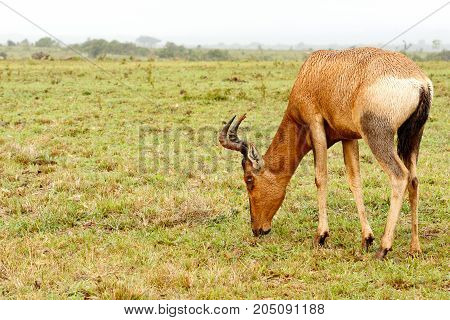 Kudu Standing And Eating Grass And Watching You
