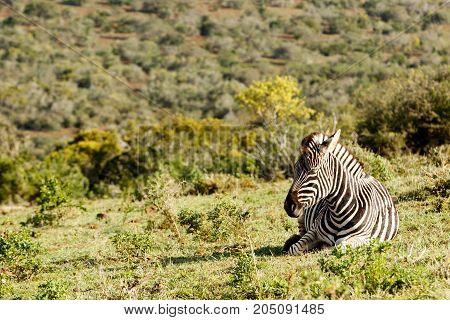 Zebra Lying And Catching Some Sun.