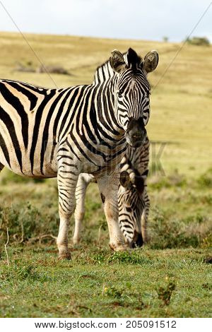 Zebras Standing And Eating Grass